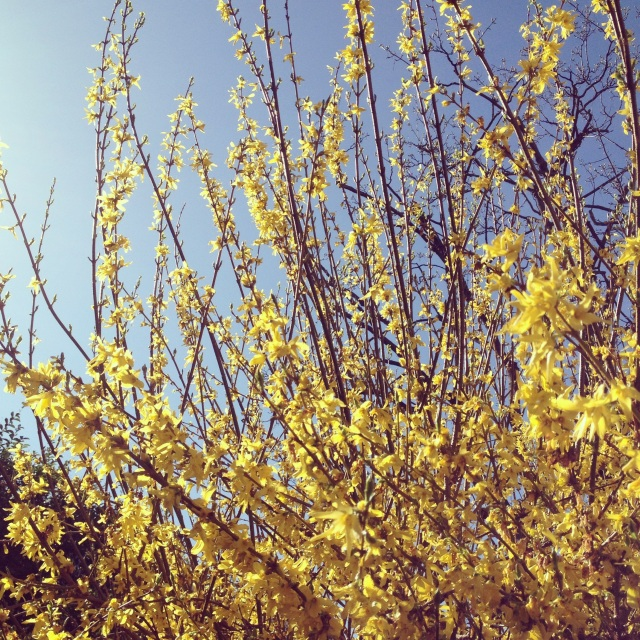 yellow april blooms