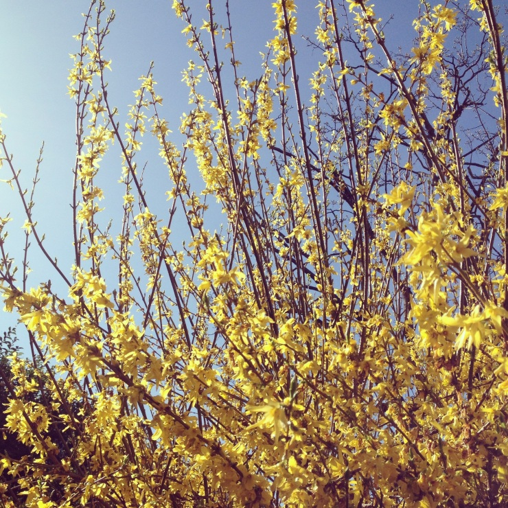 yellow april blooms