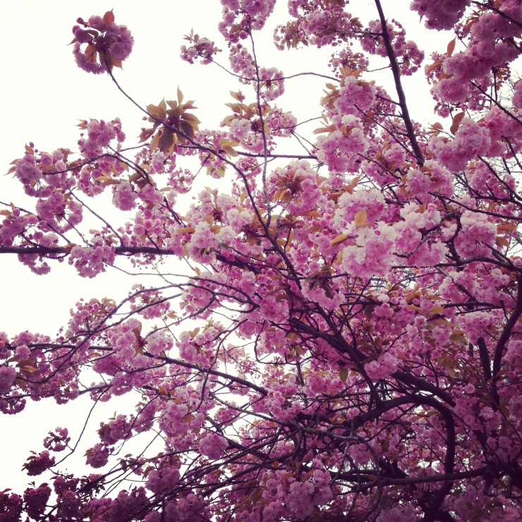 cherry blossoms in may