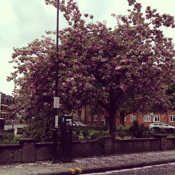 More_of_Stoke_Newington_in_Bloom_at_Clissold_Crescent___Albion_Road._Note_the_petals_on_the_pavement.
