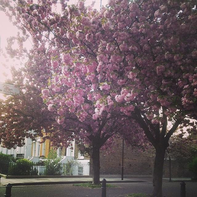De Beauvoir blossoms
